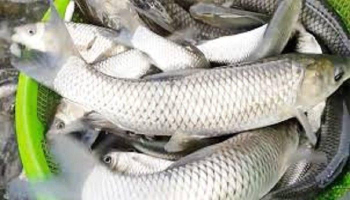 লাভজনক পদ্ধতিতে মাছ চাষ