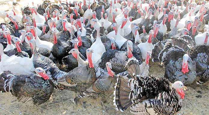 খুটাখালীর সফল টার্কি খামারী নুরুল আলমের দিন বদল