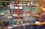 বাণিজ্যিক কবুতরের ঘর তৈরিতে যা জানা জরুরী