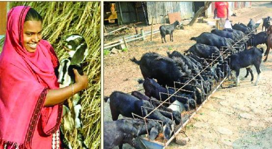ব্লাক বেঙ্গল ছাগল পৃথিবীর ৫টি সেরা মাংস উৎপাদন জাতের মধ্যে অন্যতম -ডা. আবদুল জব্বার শিকদার